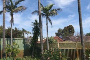 Palm cleaning arborist Perth